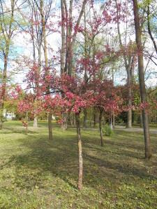 Strom jablone purpurovej v Mestkom parku